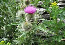 20090729 Ireland - Dingle Harbor thistle 01