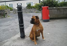 20090726 Ireland - Inismor dog