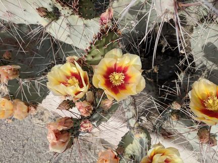 Prickly pears really do bloom